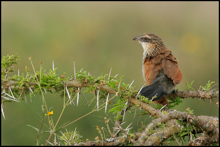 White-browed Coucal, Tanzania