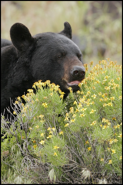 Black Bear, UT