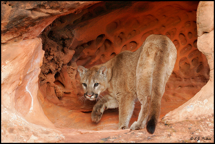 Cougar (Mountain Lion) (c), UT