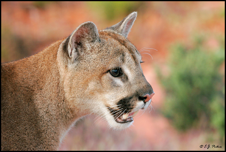 Cougar Page