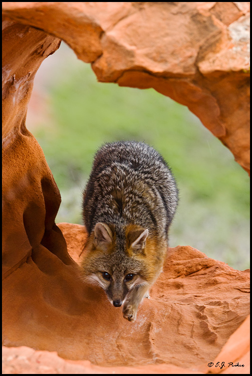 Cross Fox, UT