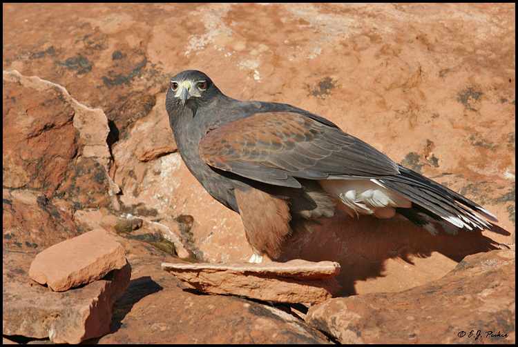 Harris's Hawk, UT