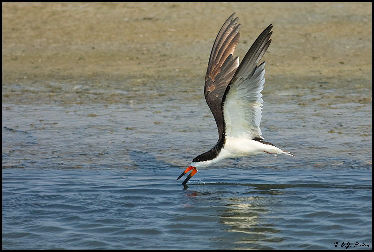 Black Skimmer, Virginia Beach, VA