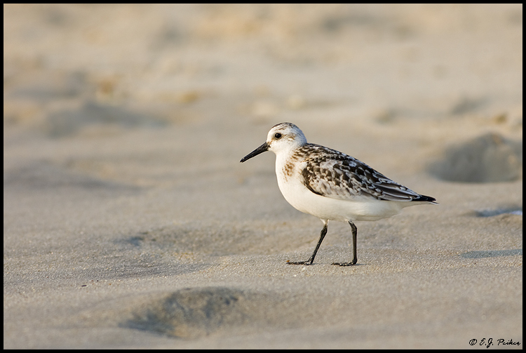 Sanderling, Virginia Beach, VA