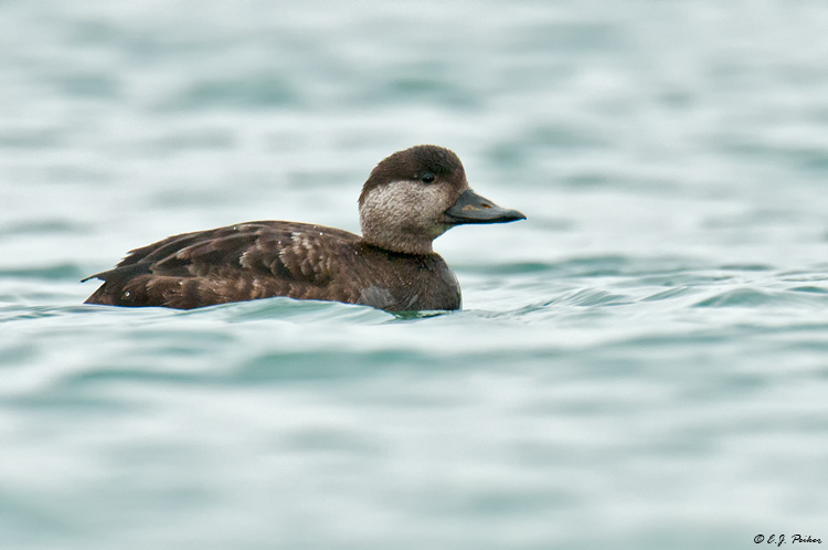 Black Scoter, Blaine, WA