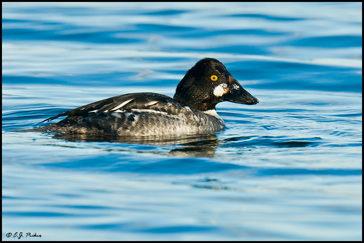 Common Goldeneye, Blaine, WA