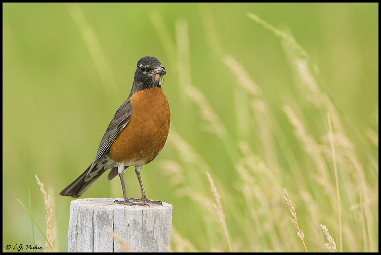 American Robin, Devil's Tower, WY