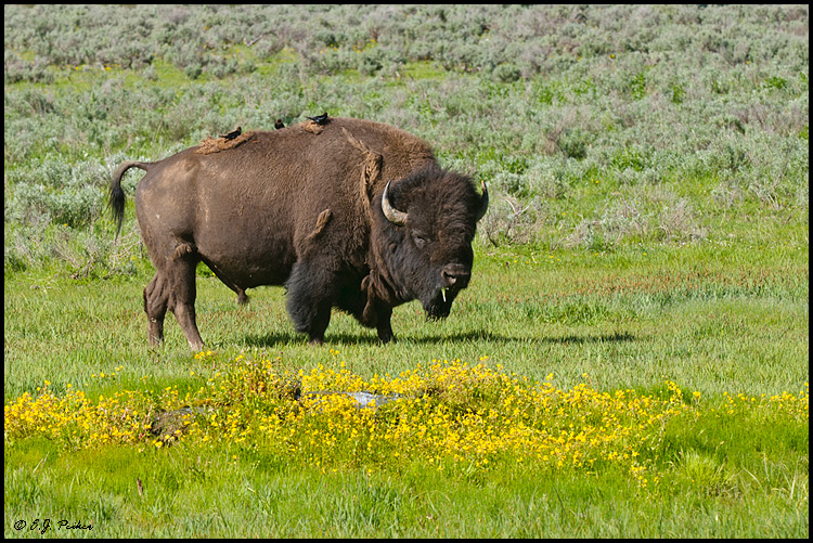 American Bison, Yellowstone NP, WY