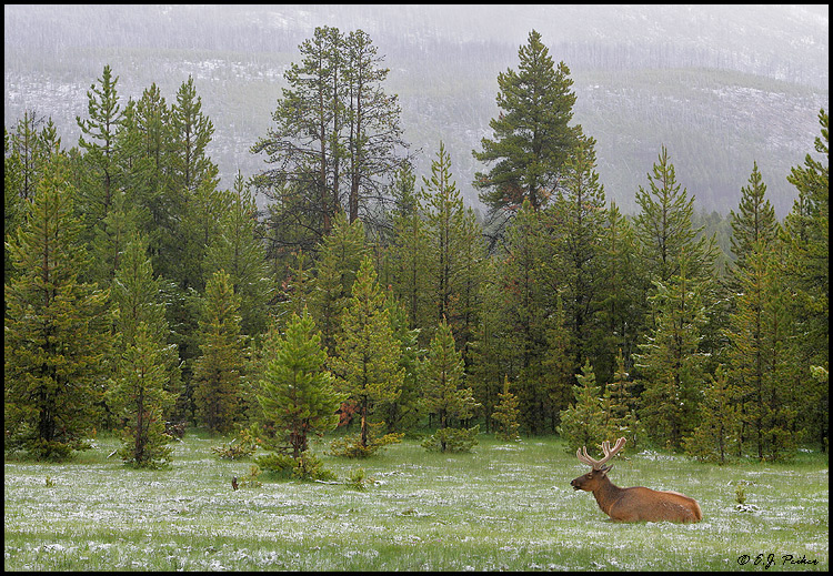 Elk, Yellowstone NP, WY
