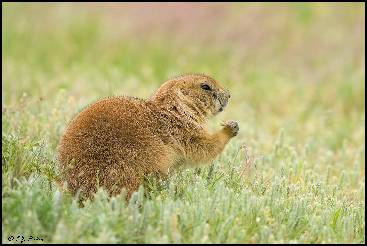 Black-tailed Prairie Dog, Devil's Tower NM, WY