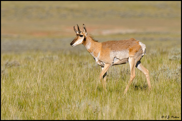 Pronghorn Antelope, Cody, WY