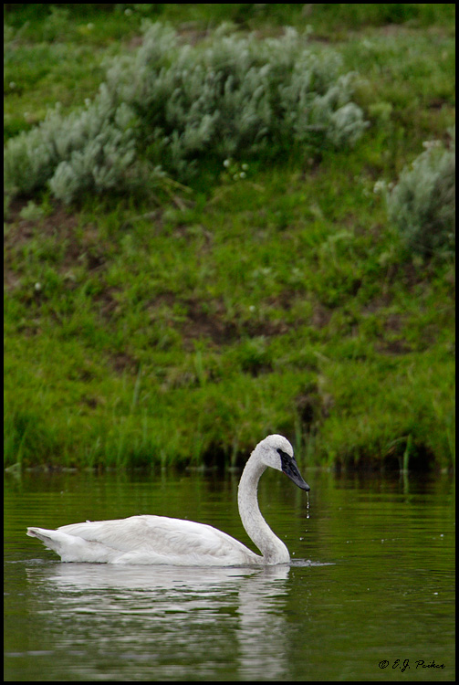 Trumpeter Swan, Yellowstone NP, WY