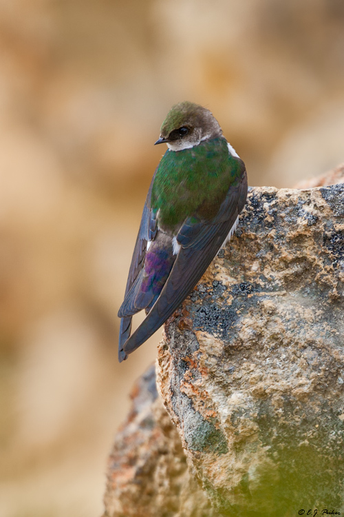 Violet-green Swallow, Yellowstone NP, WY
