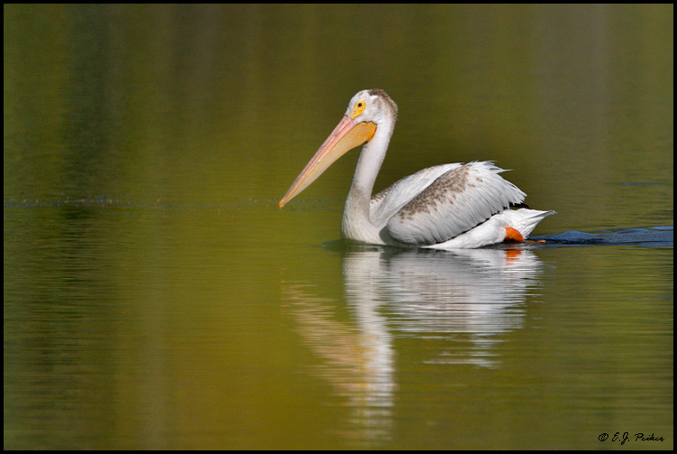 White Pelican, Yellowstone NP, WY