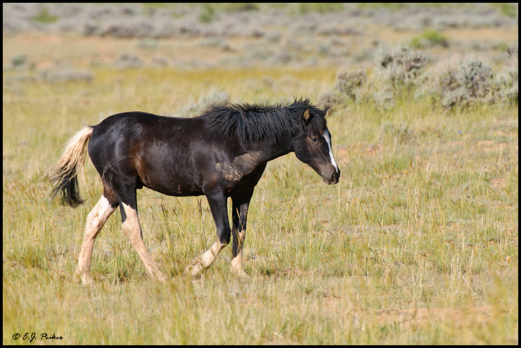 Wild Horse Mustang Cody Wy
