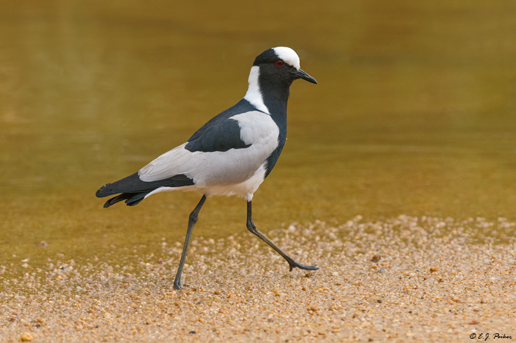 Blacksmith Plover, South Africa