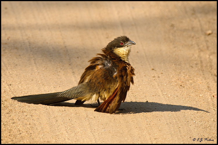 Burchell's Coucal, South Africa