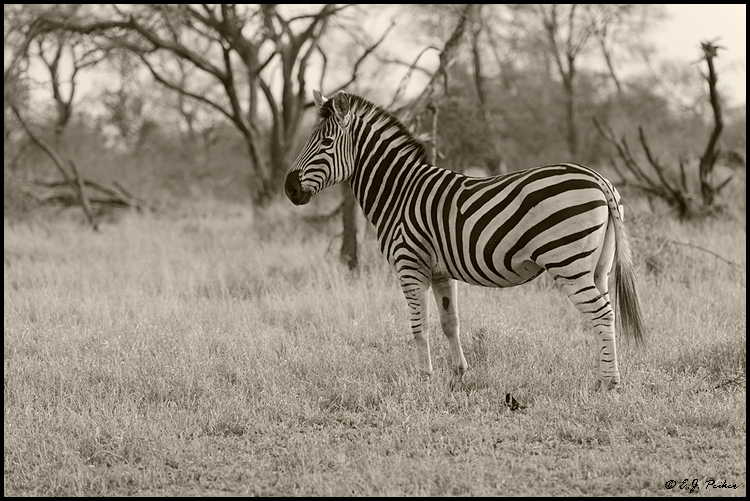 Plains (Burchell's) Zebra, South Africa