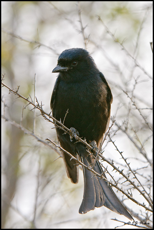 Fork-taile Drongo, South Africa