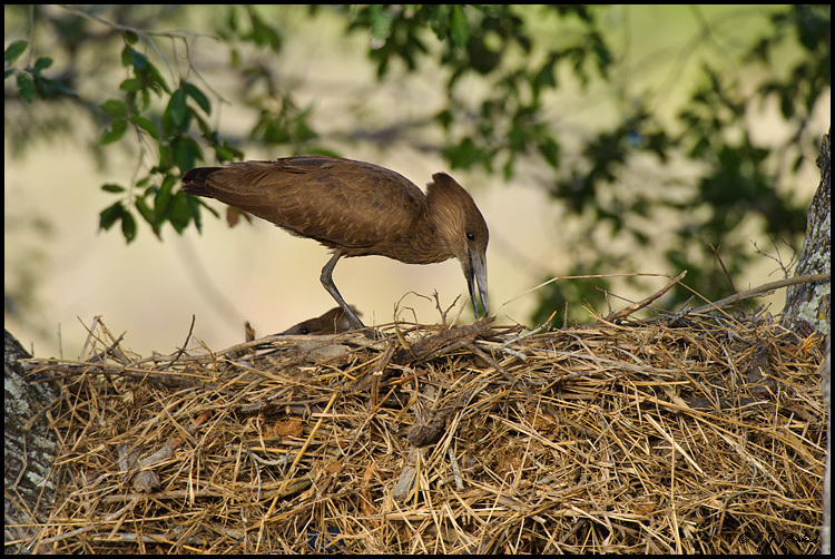 Hammerkop, South Africa