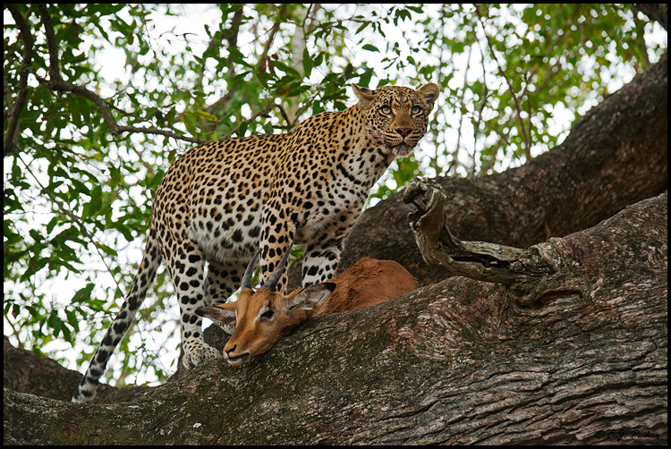 Leopard, South Africa