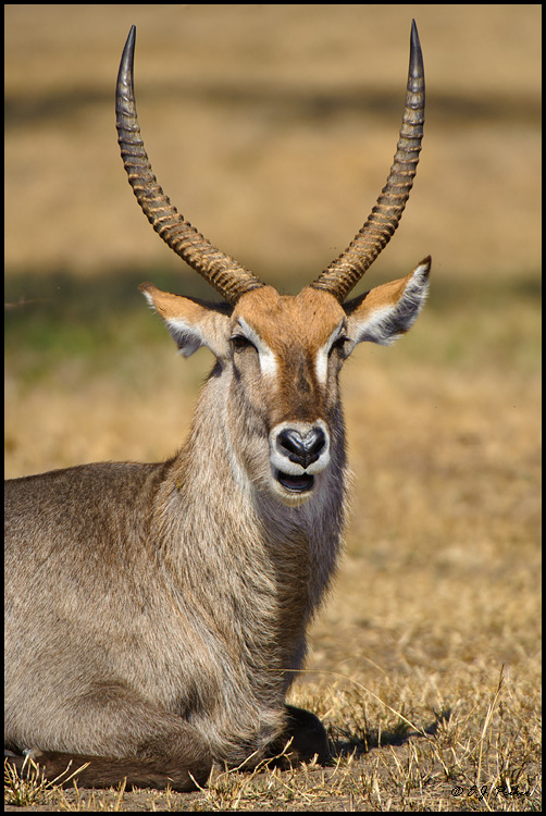 Waterbuck, South Africa