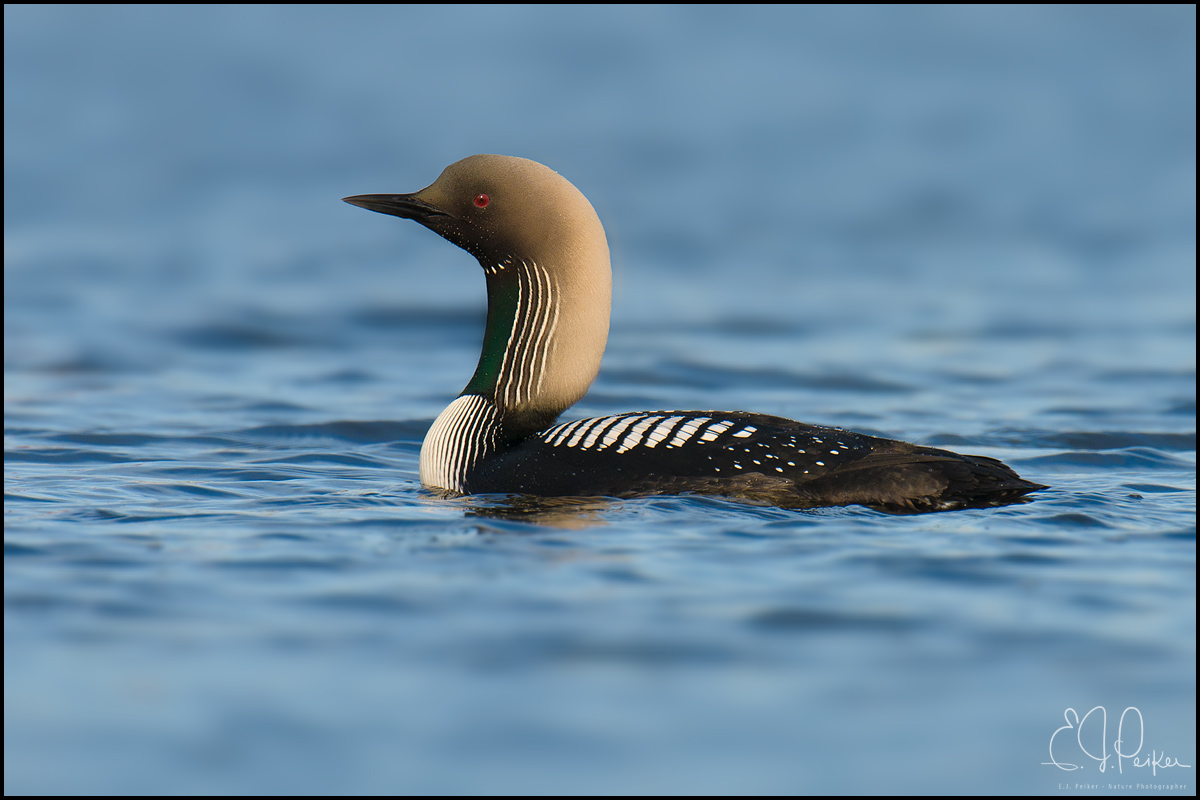 Pacific Loon, Barrow Alaska