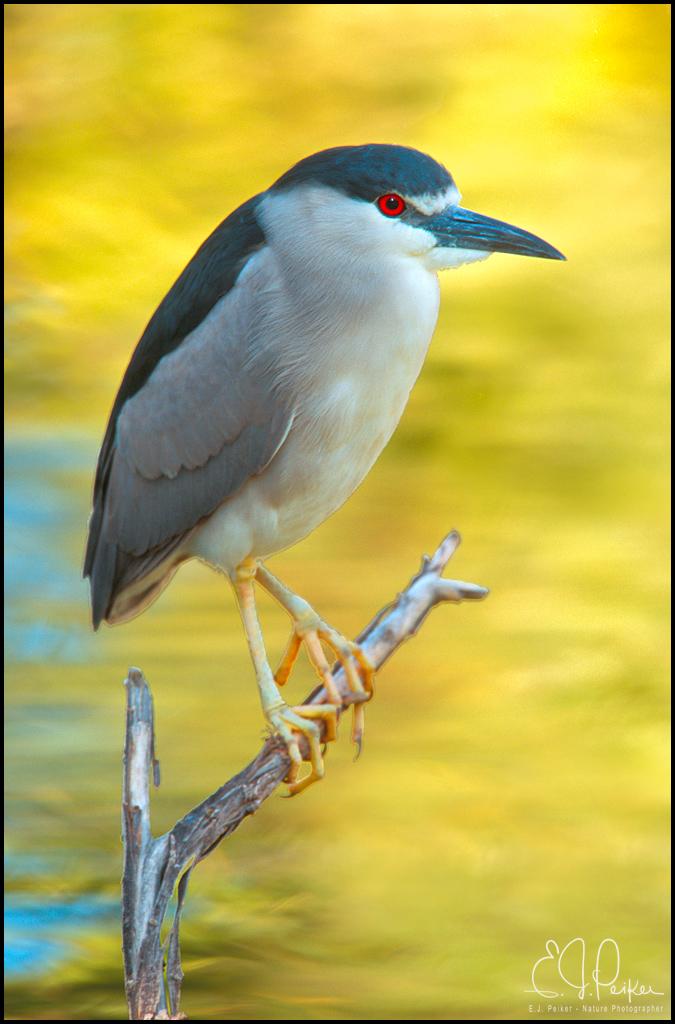Black crowned night heron baby - photo#26
