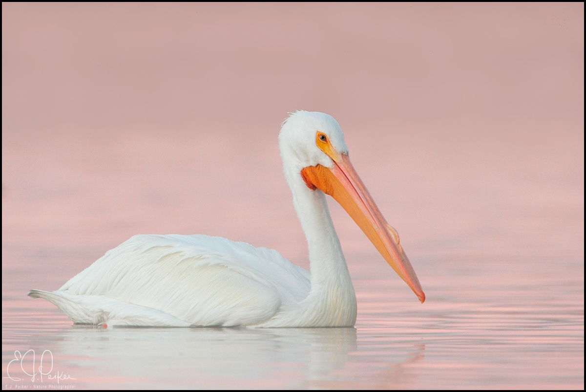 White Pelican, Arizona